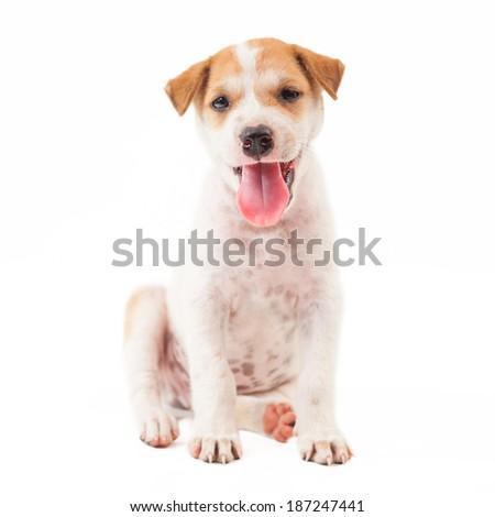 Puppy Dog showing tongue isolated on white background - stock photo