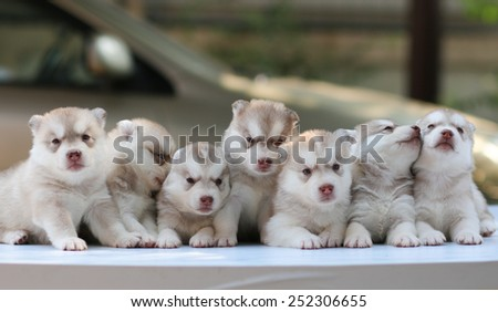 puppy dog sitting row, dog group, siberian husky cute. - stock photo