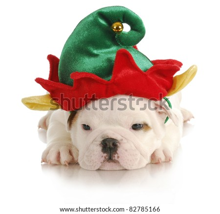 puppy elf - english bulldog dressed up like christmas elf on white background - stock photo