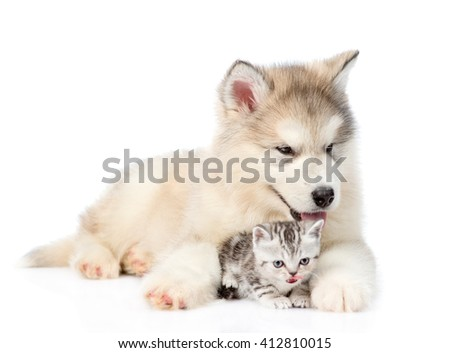 Puppy embracing scottish kitten. isolated on white background