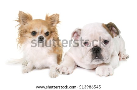 puppy english bulldog and chihuahua in front of white background