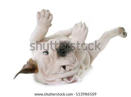 puppy english bulldog in front of white background