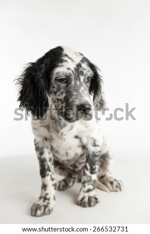 Puppy english setter with sad glance in studio portrait - stock photo