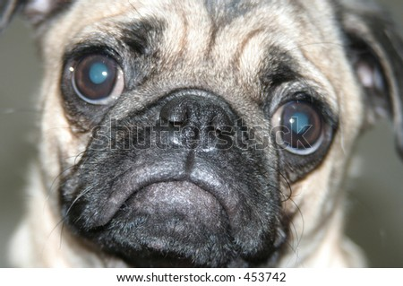 puppy face - stock photo