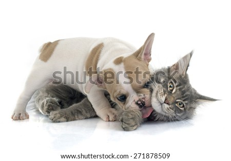 puppy french bulldog and maine coon cat in front of white background - stock photo
