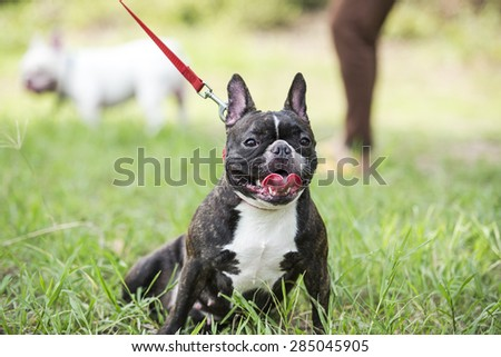 Puppy french bulldog on green field backyard. - stock photo