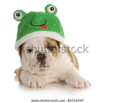 puppy frog - adorable english bulldog puppy wearing frog hat with reflection on white background - stock photo