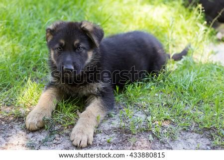 Puppy German Shepherd - stock photo