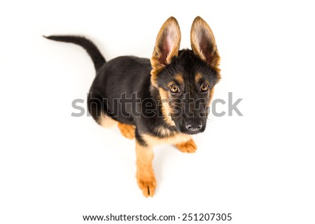 puppy german shepherd dog looking up on white background - stock photo