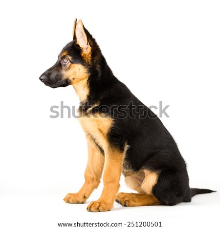puppy german shepherd dog sitting and looking away on white background 3 - stock photo