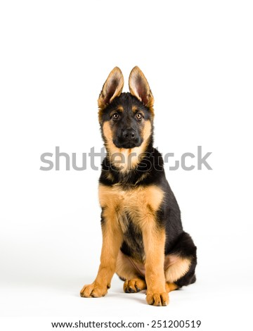 Puppy german shepherd dog sitting on white background - stock photo