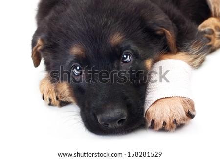 Puppy german shepherd dog with bandage on a white background. - stock photo