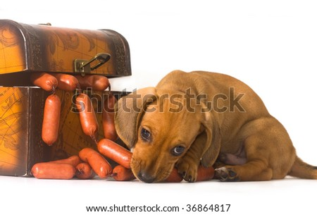 puppy gets out of the trunk and eat sausages - stock photo