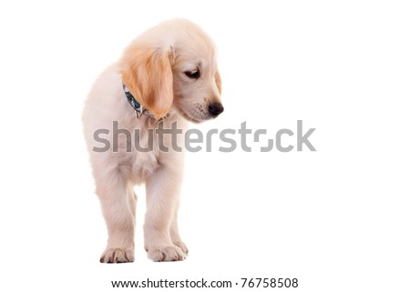 Puppy Golden Labrador retriever standing on  a white background - stock photo