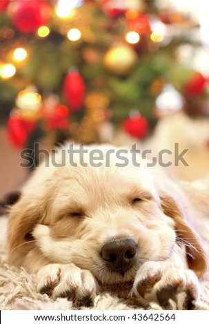 puppy golden retriever asleep in front of a christmas tree - stock photo