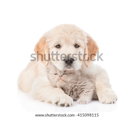 puppy golden retriever hugging a small kitten. isolated on white background