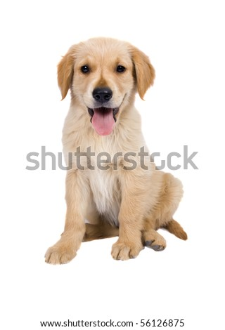 Puppy Golden Retriever  isolated on white  Background - stock photo