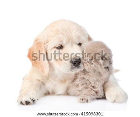 Puppy golden retriever playing with a kitten. isolated on white background - stock photo