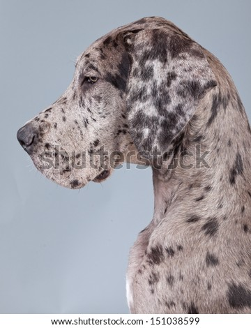 Puppy great dane dog grey with black spots isolated against grey background. Studio portrait.