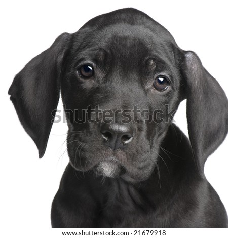 puppy Great Dane (2 months) in front of white background