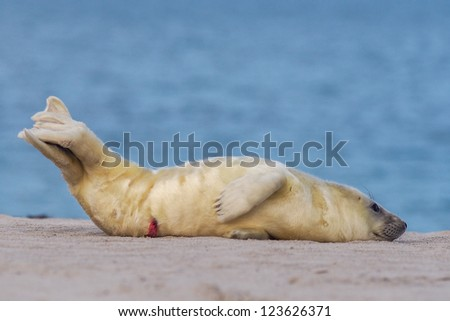 puppy grey seal (halichoerus grypus) on the beach - stock photo