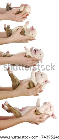 puppy growth - english bulldog puppy at one day, one week, two weeks, three weeks and four weeks of age - stock photo