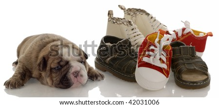 puppy growth - english bulldog puppy laying beside pile of infant shoes - stock photo