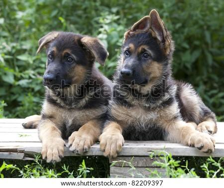 puppy Guard dog close up shoot - stock photo