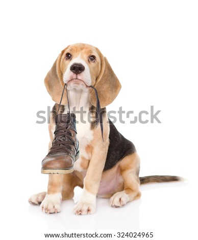 Puppy holds shoes in his mouth. Isolated on white background - stock photo