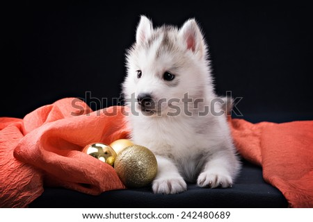 puppy husky and Christmas decorations on a black background