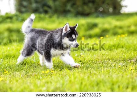 Puppy husky runs across the grass - stock photo