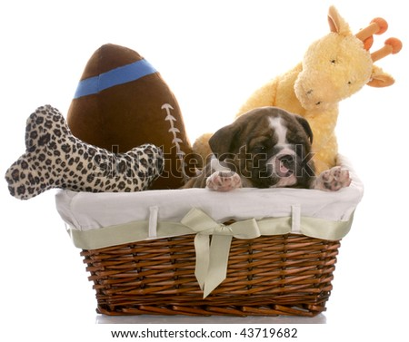 puppy in a basket - english bulldog six weeks old - stock photo