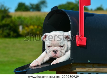 puppy in a mailbox - english bulldog puppy in a rural mailbox - stock photo