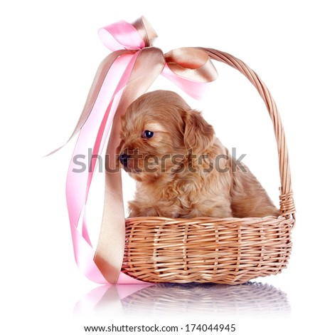 Puppy in a wattled basket with a bow. Puppy of a decorative doggie. Decorative dog. Puppy of the Petersburg orchid on a white background - stock photo