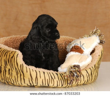 puppy in dog bed - seven week old American cocker spaniel puppy - stock photo