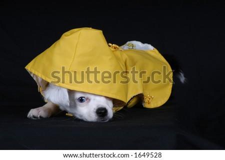 Puppy in Raincoat - stock photo