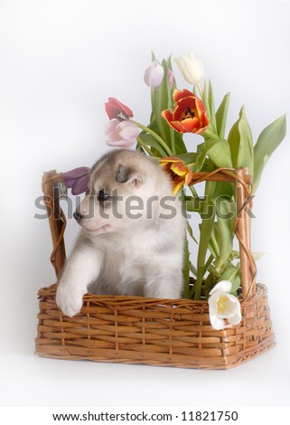 puppy in the basket - stock photo