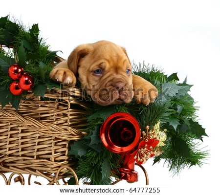 Puppy in the Christmas sledge. - stock photo