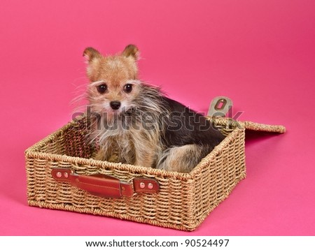 Puppy inside the suitcase ready for travel - stock photo