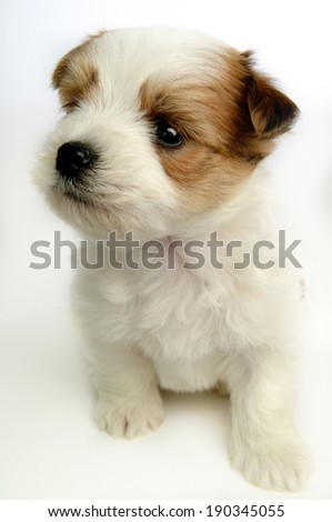puppy isolated over white background