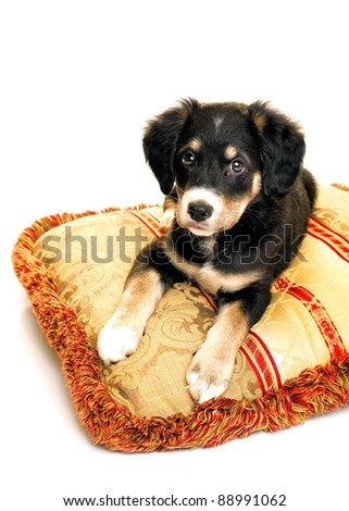 puppy isolated white high key background
