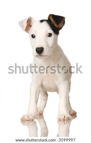 puppy Jack russel in front of a white background - stock photo