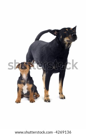 puppy jack russel terrier and a mix breed dog - stock photo