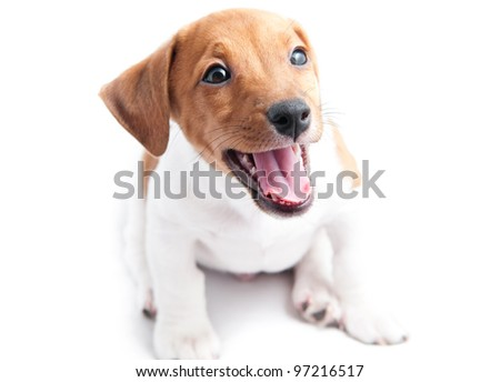 Puppy Jack Russell  on a white background - stock photo