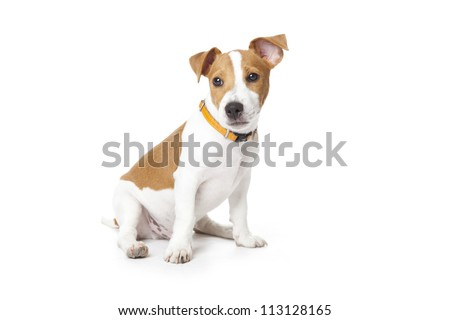 Puppy Jack Russell sitting on a white background - stock photo