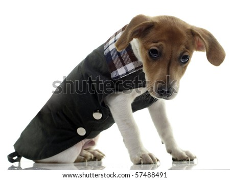 puppy jack russell terrier - stock photo