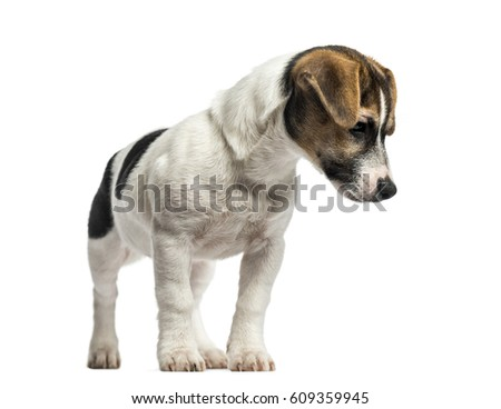 Puppy Jack Russell Terrier standing, 4 months old, isolated on white