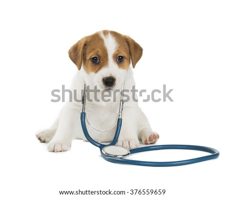 puppy Jack Russell Terrier with stethoscope isolated on white background