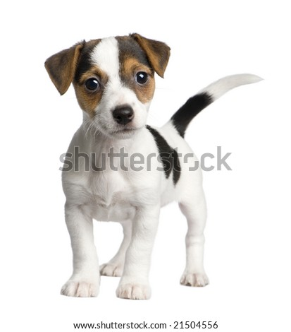 puppy Jack russell (8 weeks) in front of a white background - stock photo