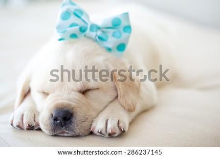 Puppy Labrador - stock photo
